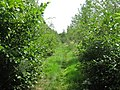 Footpath through Lime Tree Plantation - geograph.org.uk - 1420795.jpg