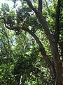 Forest canopy South African indigenous Curtisia tree.jpg