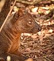 Fossa, Kirindy Forest, Madagascar (23715903529).jpg