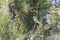 Foudia madagascariensis (22109465495).jpg