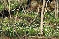 Frühlings-Knotenblume, Leucojum vernum 59.JPG