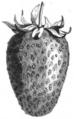 Fraise Souvenir de Kieff Vilmorin-Andrieux 1883.png