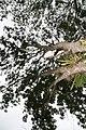 Fraxinus uhdei 12zz.jpg