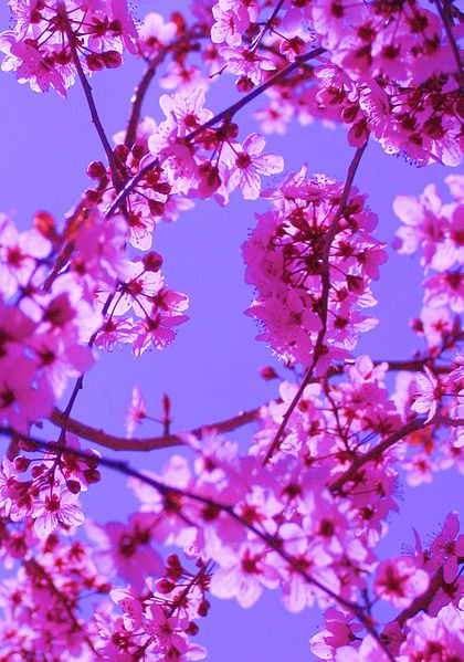 File:Free Colorful Spring Blossoms in Pink on Blue Sky.jpg