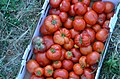 Fresh Picked Tomatoes From Connie S Garden (120857137).jpeg