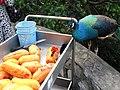 Fresh fruit for an omnivorous bird (7856617038).jpg