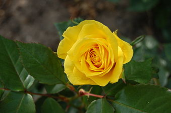 Image result for Rosa Friesia