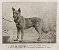 Fritz von Schwenningen German Shepherd Dog.jpg