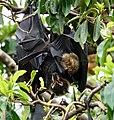 Fruit bats (32099088586).jpg