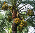 Fruit of the date palm tree by Balaram Mahalder.jpg