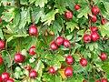 Fruits and foliage (5042874010).jpg