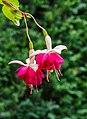 Fuchsia 'Violetkoningin' 02.jpg