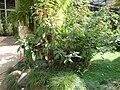 Fuchsia corymbiflora.JPG