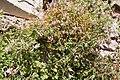 Fumaria capreolata-Fumeterre grimpante-20150415.jpg
