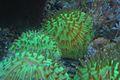 Fungia Corals.jpg