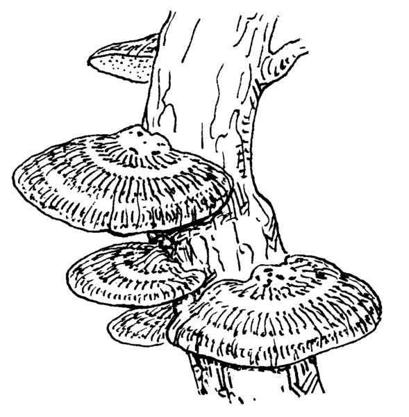 bread mold hyphae diagram sketch coloring page
