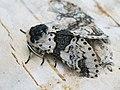 Furcula bicuspis - Alder kitten - Гарпия берёзовая (40426169764).jpg