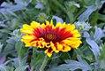 Gaillardia aristata Arizona Sun 0zz.jpg