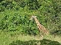 Game DRIVE Uganda Giraffes.jpg