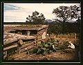Garden adjacent to the dugout home of Jack Whinery, homesteader, Pie Town, New Mexico (LOC).jpg