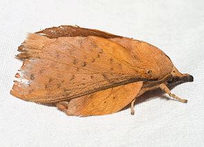 Pappelglucke (Gastropacha populifolia)