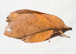 Cucciolo di pioppo (Gastropacha populifolia)