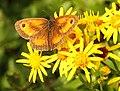 Gatekeeper Butterfly (7764185344).jpg