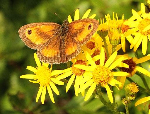 Gatekeeper Butterfly (7764185344)