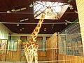 Gdańskie zoo – żyrafiarnia.JPG