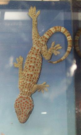 Pöttyös gekkó (Gekko gecko)