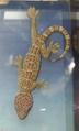 Gekkoninae Gekko gecko.png