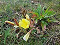 Gele Bloom 1 an'n Bullenbarg bi Nindörp 04.jpg