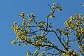 Gele kornoelje te Zwalm - 372534 - onroerenderfgoed.jpg