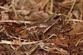 Gemeine Strauchschrecke Pholidoptera griseoaptera.jpg