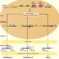 Gene de la calcitonine.png