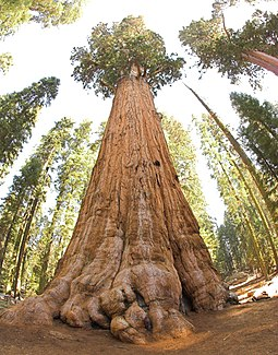The General Sherman Tree, thought to be the world's largest by volume General Sherman tree looking up.jpg