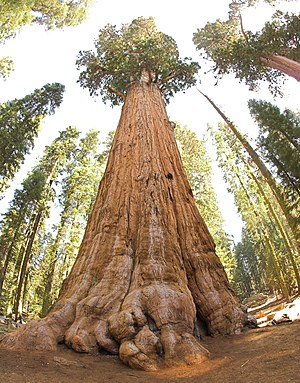 General Sherman (tree) - Looking upward from the base of the General Sherman located in California's Sequoia National Park