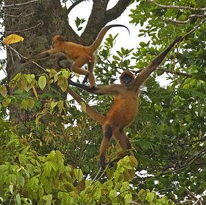 Geoffroy's spider monkey - Using its prehensile tail near Tortuguero, Costa Rica