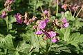 Geranium macrorrhizum in Barysau district 28.jpg