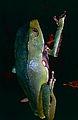 Giant Leaf Frog (Phyllomedusa bicolor) (10460901456).jpg