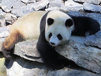 Pairi Daiza - Giant panda at Pairi Daiza.