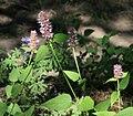 Giant hyssop Agastache urticifolia.jpg