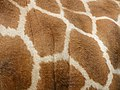 Giraffa camelopardalis rothschildi (pattern).jpg