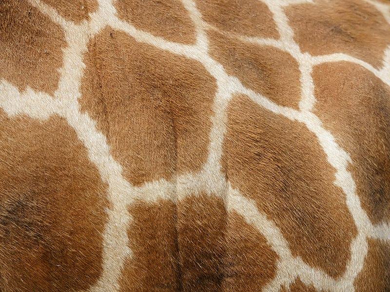 http://upload.wikimedia.org/wikipedia/commons/thumb/4/46/Giraffa_camelopardalis_rothschildi_%28pattern%29.jpg/800px-Giraffa_camelopardalis_rothschildi_%28pattern%29.jpg