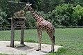Giraffe (6019865144).jpg