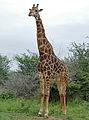 Giraffe (Giraffa camelopardalis) male (16465272177).jpg