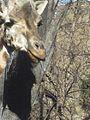 Giraffe Tongue.jpg