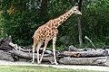 Giraffe in Front of Logs (26518533373).jpg