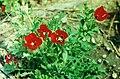 Glaucium corniculatum Red Horned Poppy ყაყაჩურა.jpg