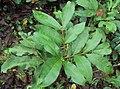 Glycosmis pentaphylla 12a.JPG
